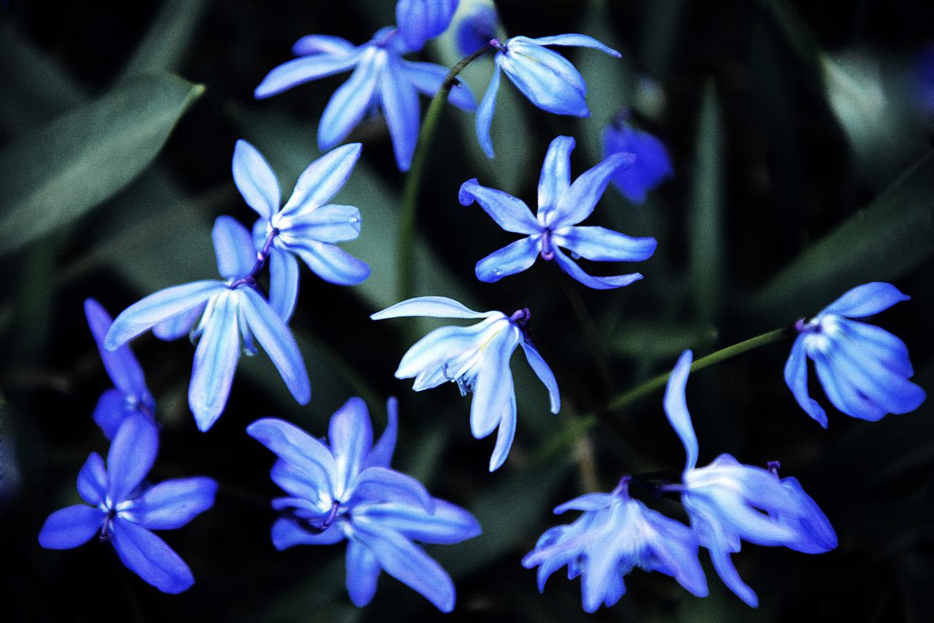 Blausterne Scilla