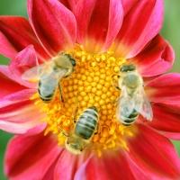 bees invade dahlia