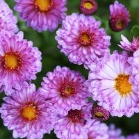 herbstchrysanthemen-pink