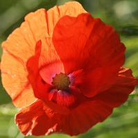 red mohn rising