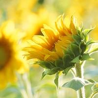 sonnenblume-natur-fotografie