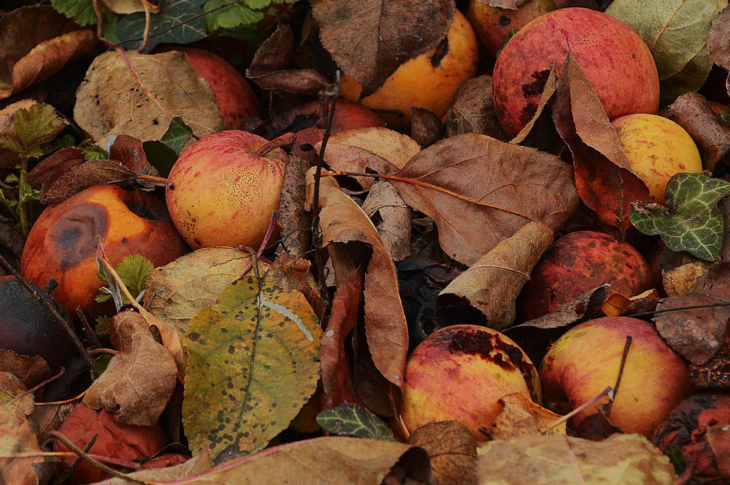 fallobst-aepfel