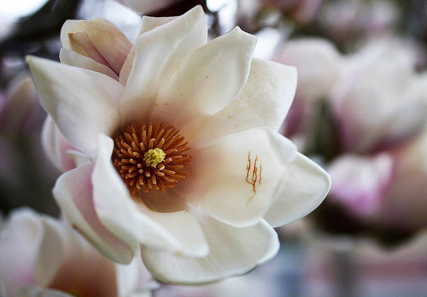 Magnolie im Botanischen Garten