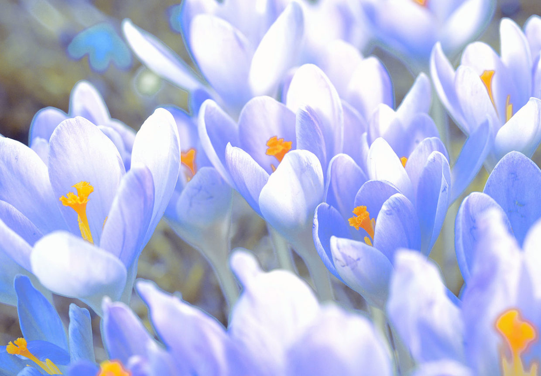 Frühling Viele farbenfrohe Krokusse